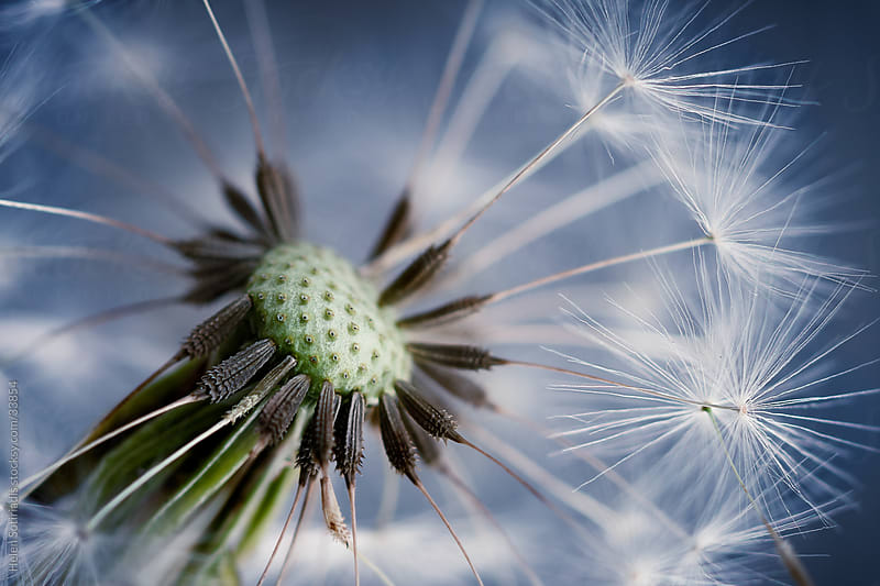Extreme Closeup of Dandelion Seeds by Helen Sotiriadis for Stocksy United