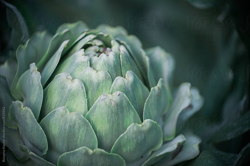 Globe Artichoke by Rowena Naylor for Stocksy United