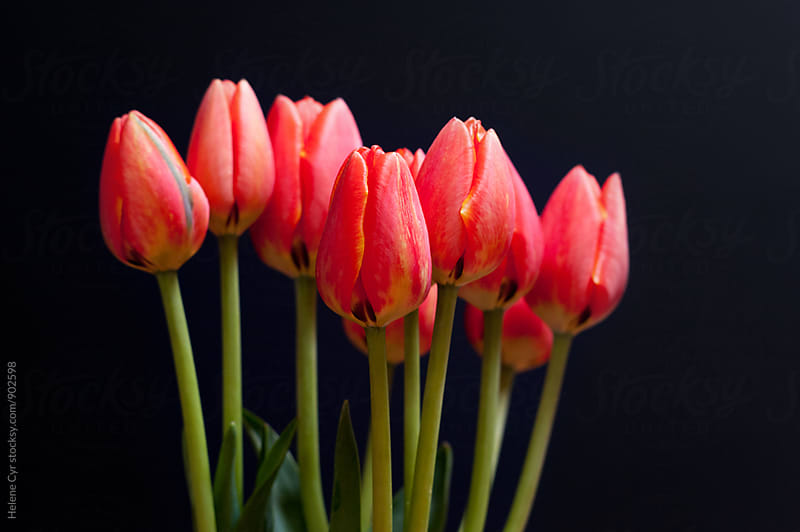 Red Tulips by Helene Cyr for Stocksy United