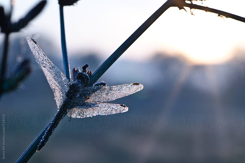 Dewy dragonfly by Sveta SH for Stocksy United