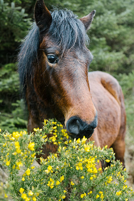 Dartmoor Pony by Agencia for Stocksy United
