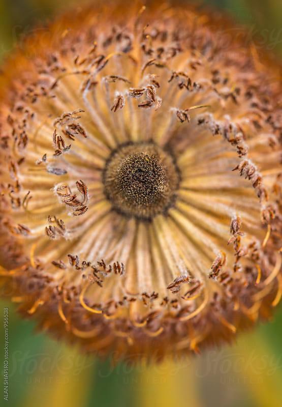 Protea macro by ALAN SHAPIRO for Stocksy United