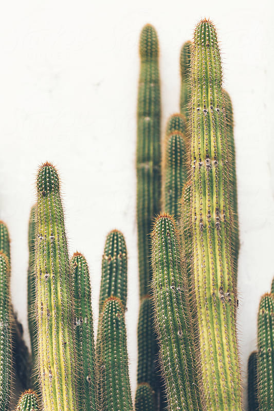 Organ Pipe Cactus  by Amy Covington for Stocksy United