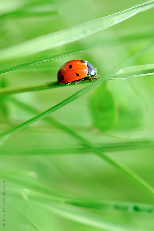 Ladybird on blade of grass by Pixel Stories for Stocksy United