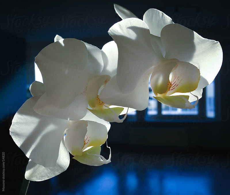 White orchid in dark. by Mosuno for Stocksy United