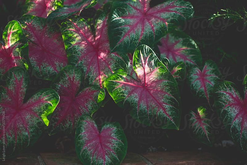 Pink and Green Caladium Leaves by Leigh Love for Stocksy United