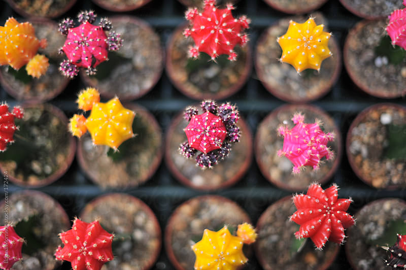 Group of Cactus Plants in Red, Yellow, and Pink by Briana Morrison for Stocksy United