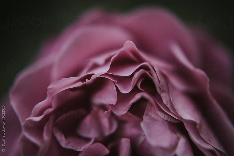 magenta rose petals by Kim Swain for Stocksy United