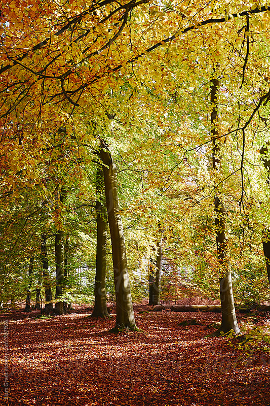 Autumnal beech trees in a natural woodland. Norfolk, UK. by Liam Grant for Stocksy United