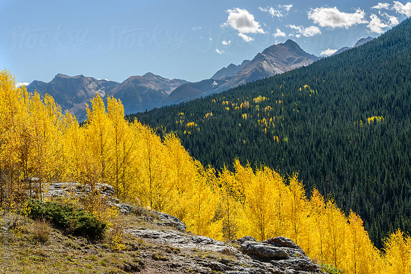 Golden aspens in the mountains by Mick Follari for Stocksy United