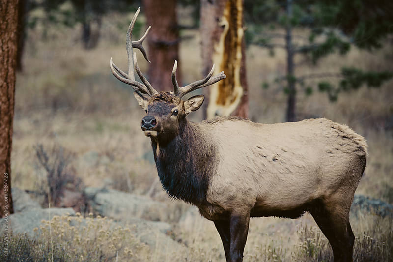 Adult male elk by Chris Werner for Stocksy United