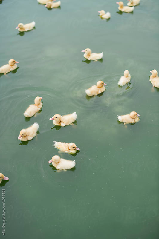 Ducklings swimming in a pond by Alita Ong for Stocksy United