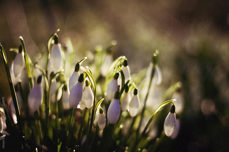 Snowdrops en masse by Helen Rushbrook for Stocksy United