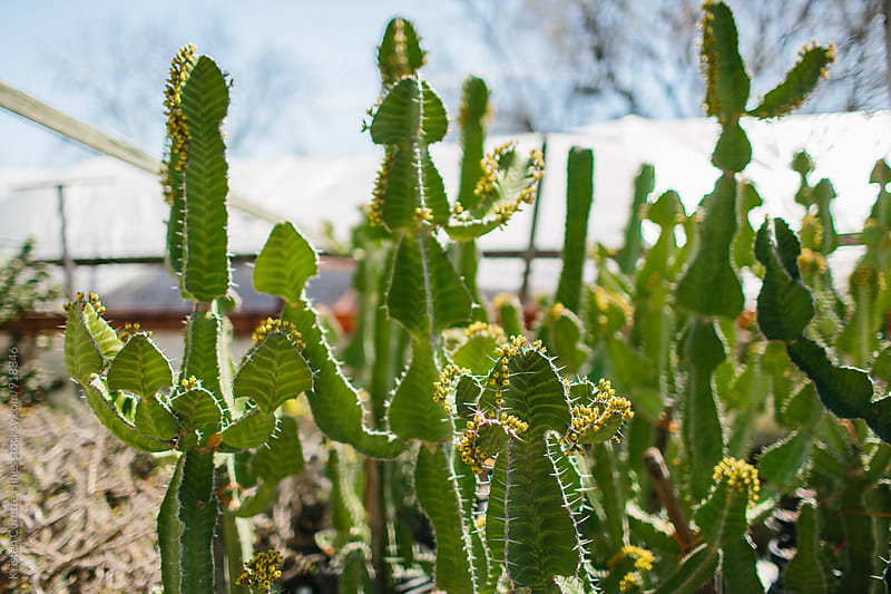 A group of tall green cacti  by Kristen Curette Hines for Stocksy United