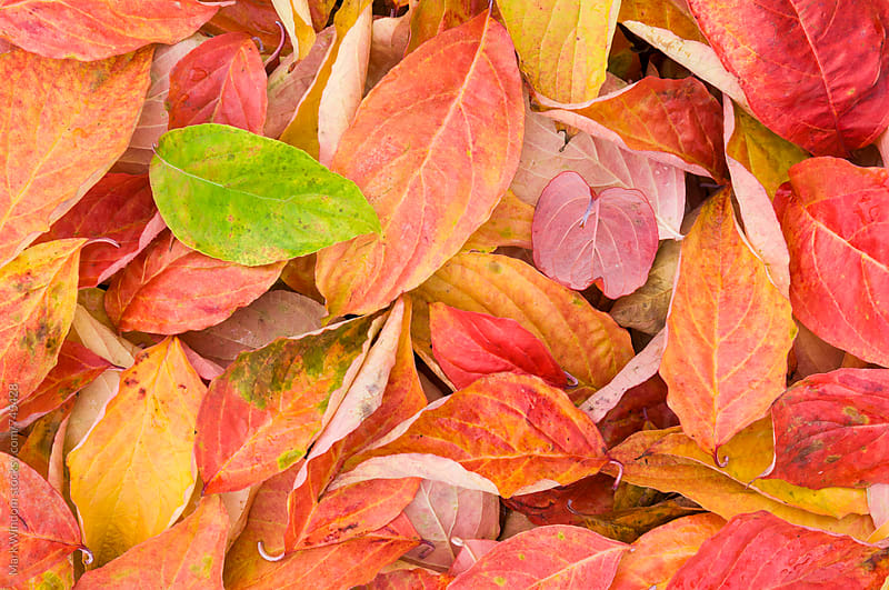 Dogwood leaves in Autumn by Mark Windom for Stocksy United