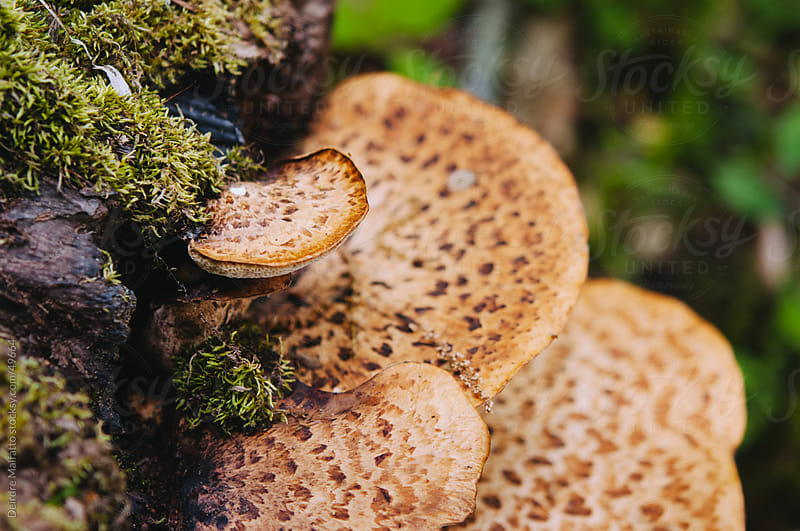 Polypore fungi growing on a moss-covered log by Deirdre Malfatto for Stocksy United