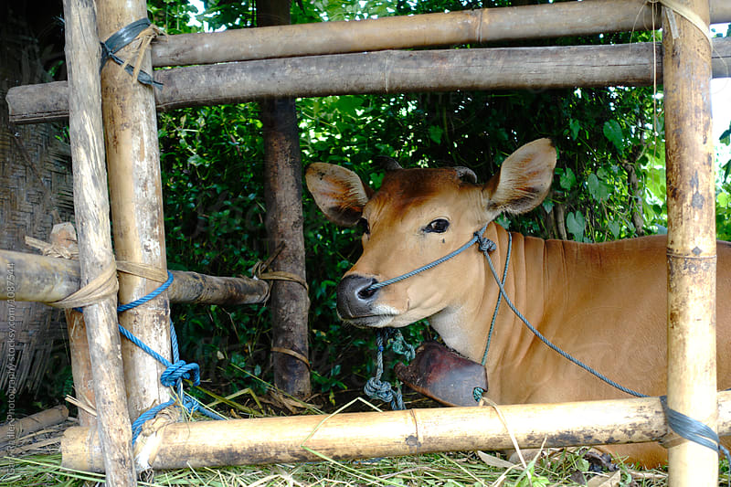 Cow in a Farm Enclosure in Bali by Gary Radler Photography for Stocksy United