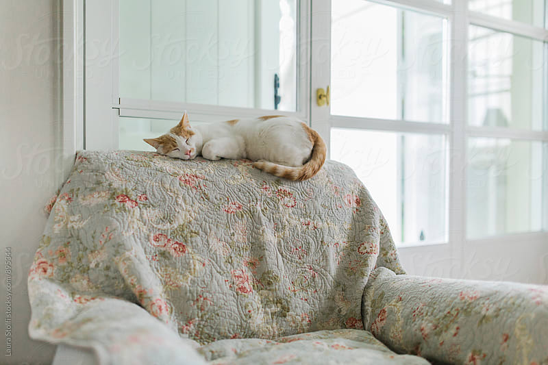 Ginger and white cat enjoys a nap laying on armschair's back by Laura Stolfi for Stocksy United