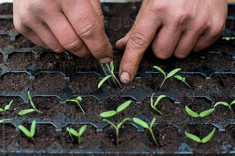 Man planting tomato plants by Bisual Studio for Stocksy United