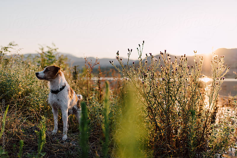 Dog standing in the bushes by the mountain lake  by Boris Jovanovic for Stocksy United