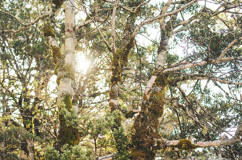 Moss covered birch forest by Dominique Chapman for Stocksy United