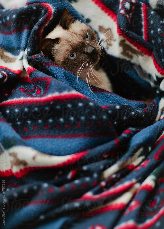 Cat laying in bed amongst blankets and looking up at camera by Laura Stolfi for Stocksy United
