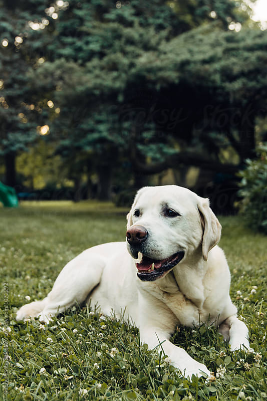 A white dog laying on a lawn by Gabriel (Gabi) Bucataru for Stocksy United
