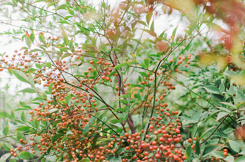 A bush of Szechuan Pepper by Dominique Chapman for Stocksy United