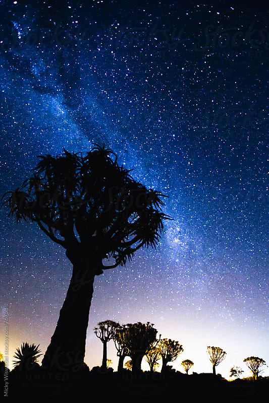 Quiver Tree Forest and stars in Namibia by Micky Wiswedel for Stocksy United