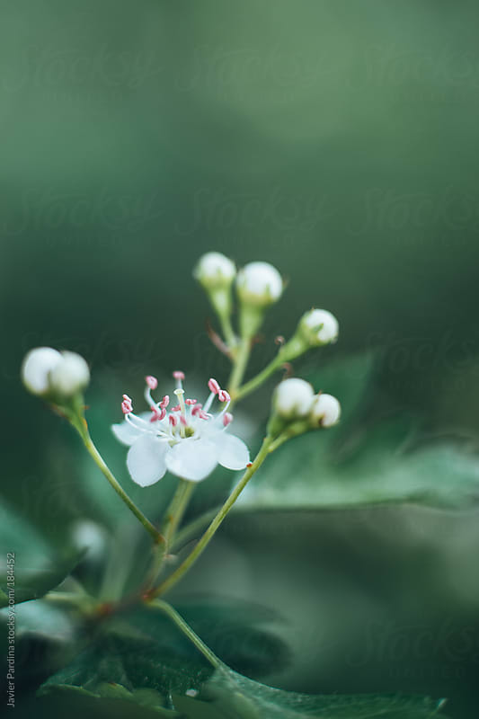 first white flowers of spring by Javier Pardina for Stocksy United