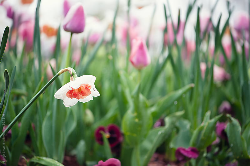 Single White Daffodil Flower Stands Out In Front of Tulips by Leigh Love for Stocksy United
