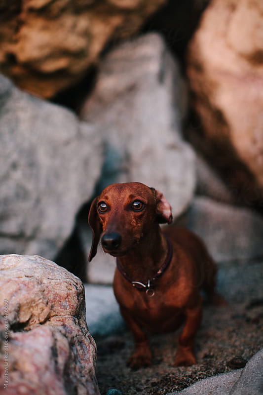 Dachshund enjoying his day  by Matthew Linker for Stocksy United
