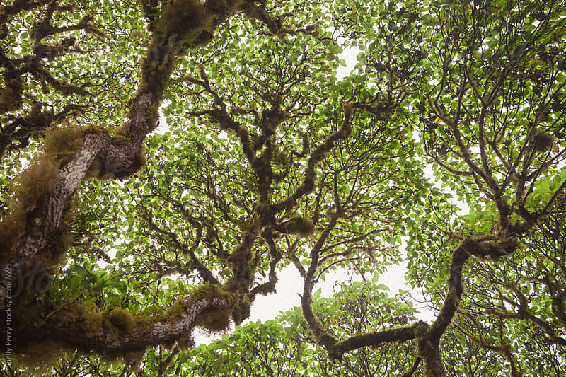 Tree Canopy  by Shelly Perry for Stocksy United
