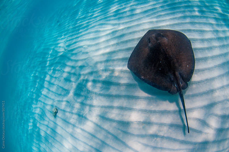 Southern Stingray cruising over sand by Caine Delacy for Stocksy United