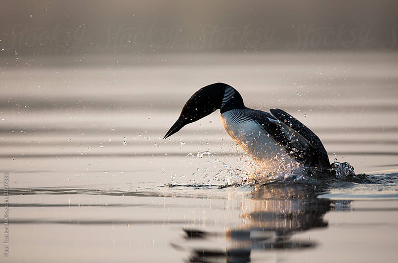 Diving Loon by Paul Tessier for Stocksy United