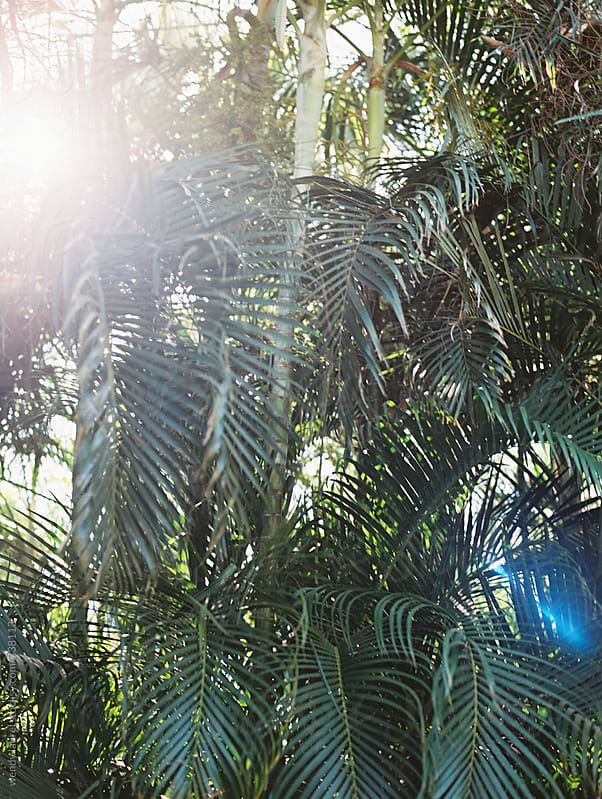 sunflare through green palms in summer by wendy laurel for Stocksy United