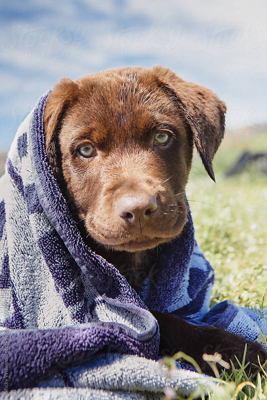 Cute chocolate brown labrador puppy wrapped in a towel by Micky Wiswedel for Stocksy United