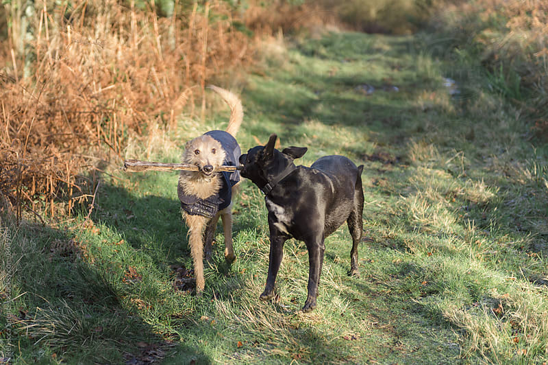 A pair of happy dogs share a stick by Rebecca Spencer for Stocksy United