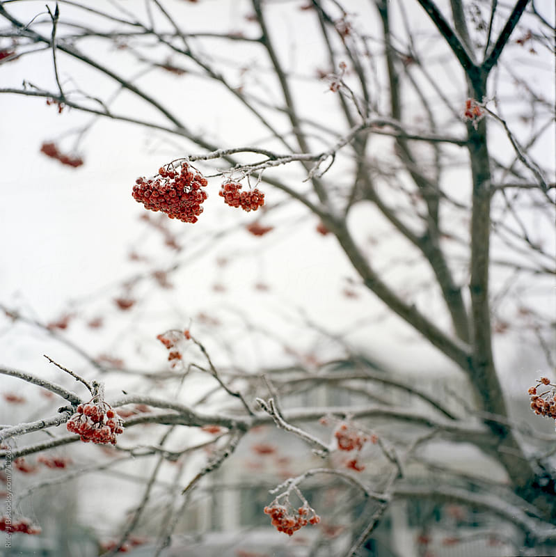 A tree with red berries covered in frost by Riley J.B. for Stocksy United