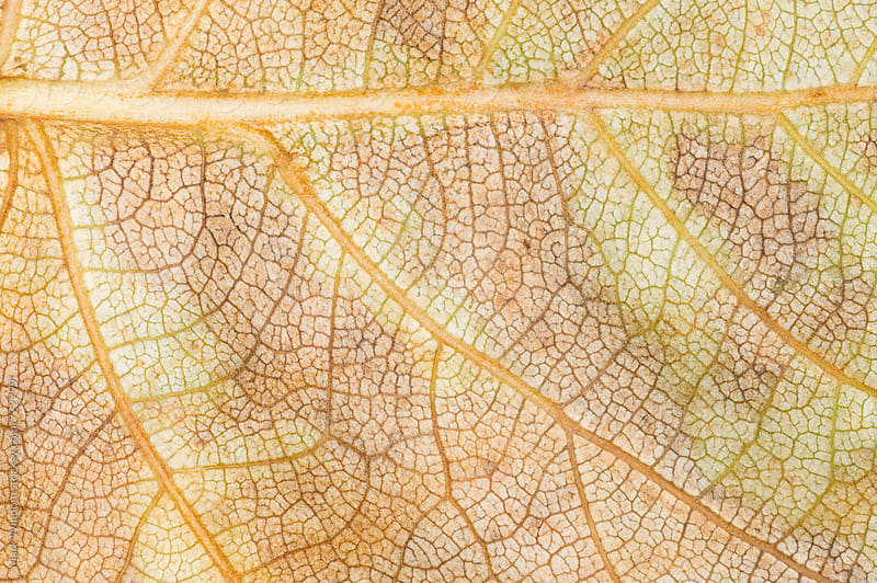 Cottonwood leaf detail, closeup by Mark Windom for Stocksy United