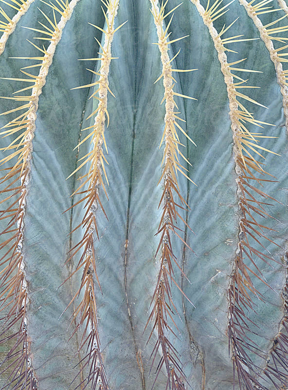 Closeup of blue barrel cactus (Ferocactus glaucescens) by Ron Mellott for Stocksy United