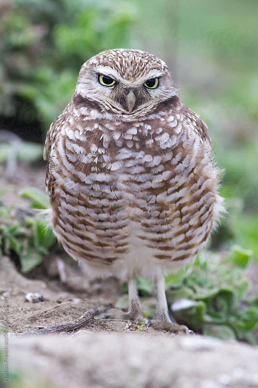 Burrowing Owl Staredown by Nathan French for Stocksy United
