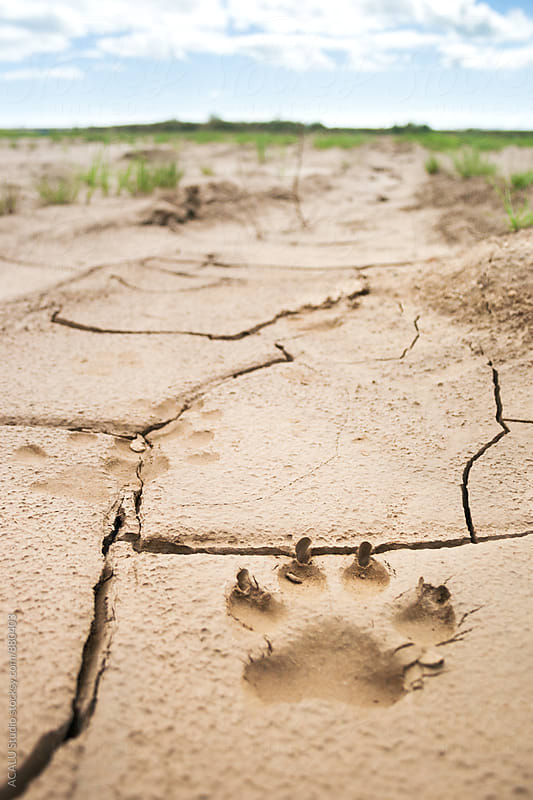 Dog footprints in the mud by ACALU Studio for Stocksy United