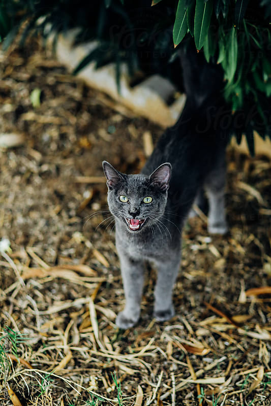 Talking gray cat by ZOA PHOTO for Stocksy United