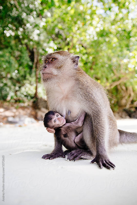 Monkey baby hanging on mother's stomach on beach by Andrey Pavlov for Stocksy United