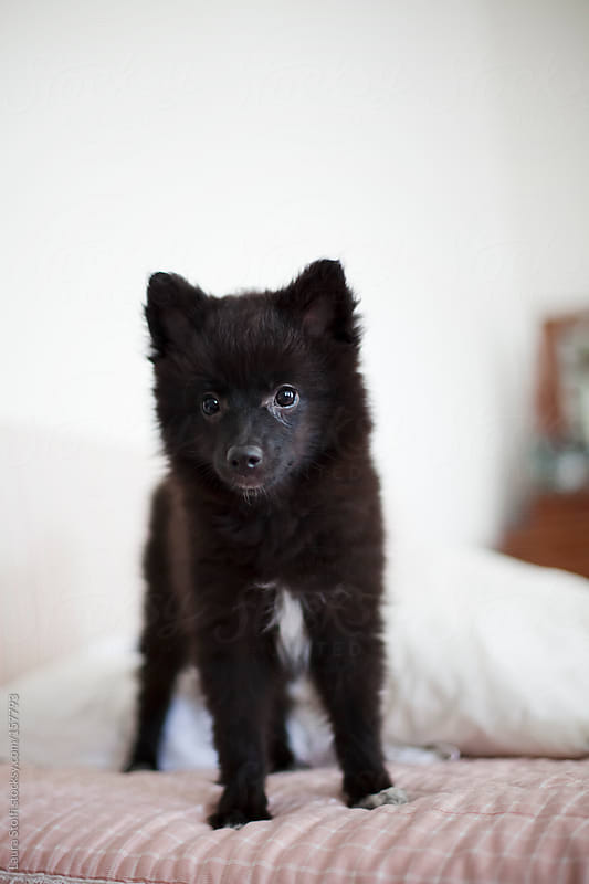 Black pomeranian puppy stands on bed and looks at the camera by Laura Stolfi for Stocksy United