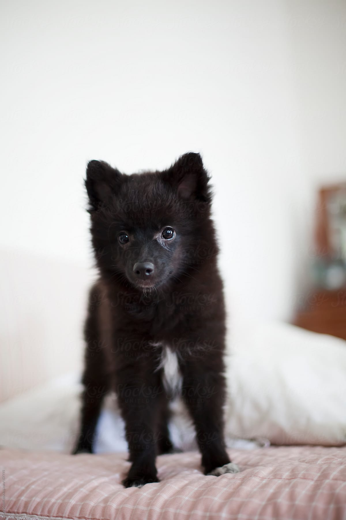 Black Pomeranian Puppy Stands On Bed And Looks At The Camera By Laura Stolfi Stocksy United