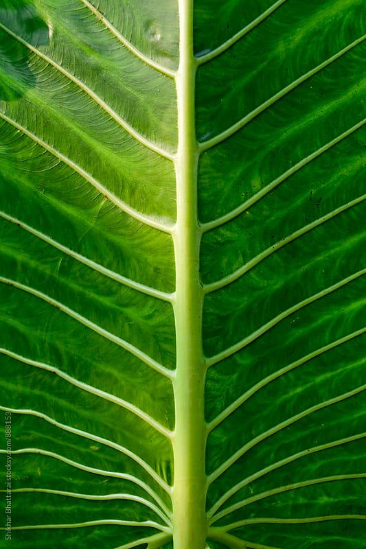 Leaf veins. by Shikhar Bhattarai for Stocksy United