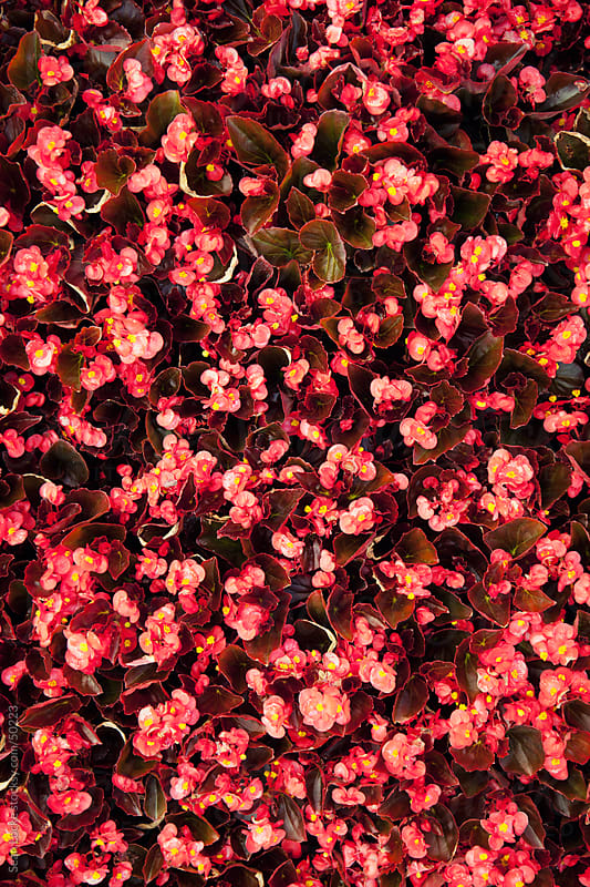 Nursery: Background of Begonias by Sean Locke for Stocksy United