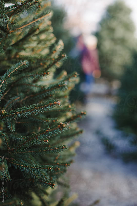 Close up of a Christmas tree at a tree farm, people blurred in background by Amanda Worrall for Stocksy United